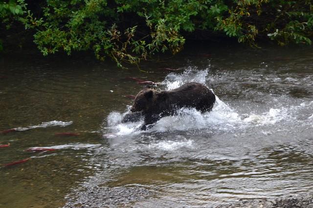Oso intentando pescar un salmón en Hanna Creek, Columbia Británica