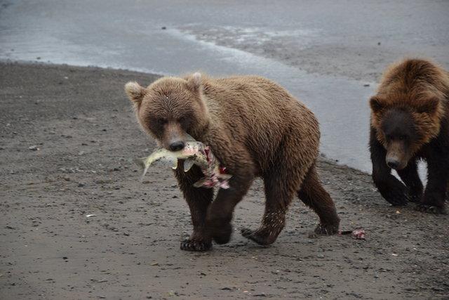 oso y salmón, Alaska