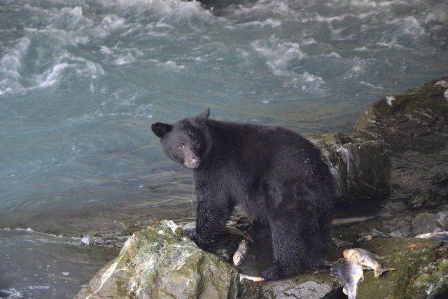oso en Valdez, Alaska